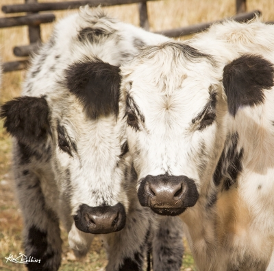 Two English White Cows