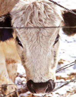 English Cow