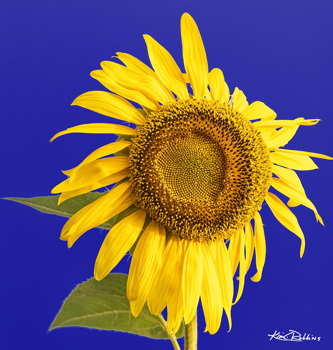 Sunflower in Purple