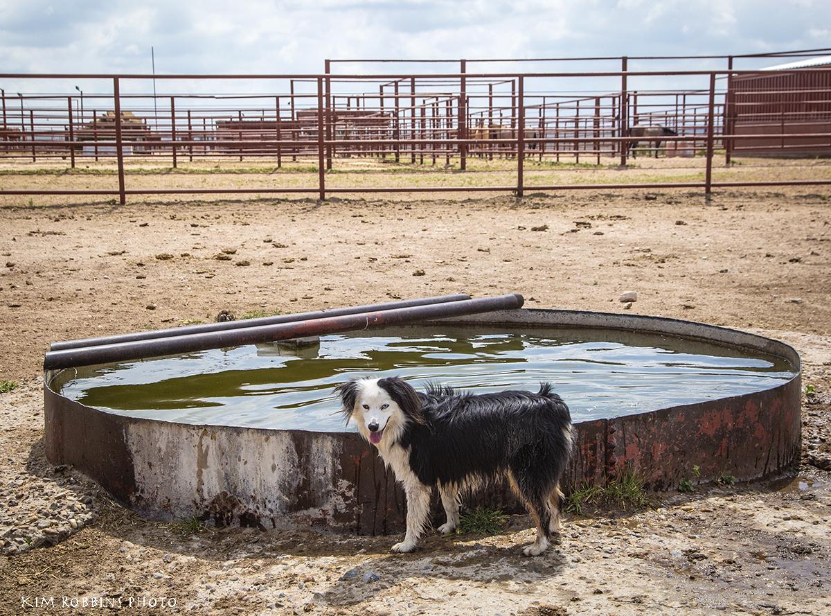 Bear at the 6666Dixon Creek Watering tanks
