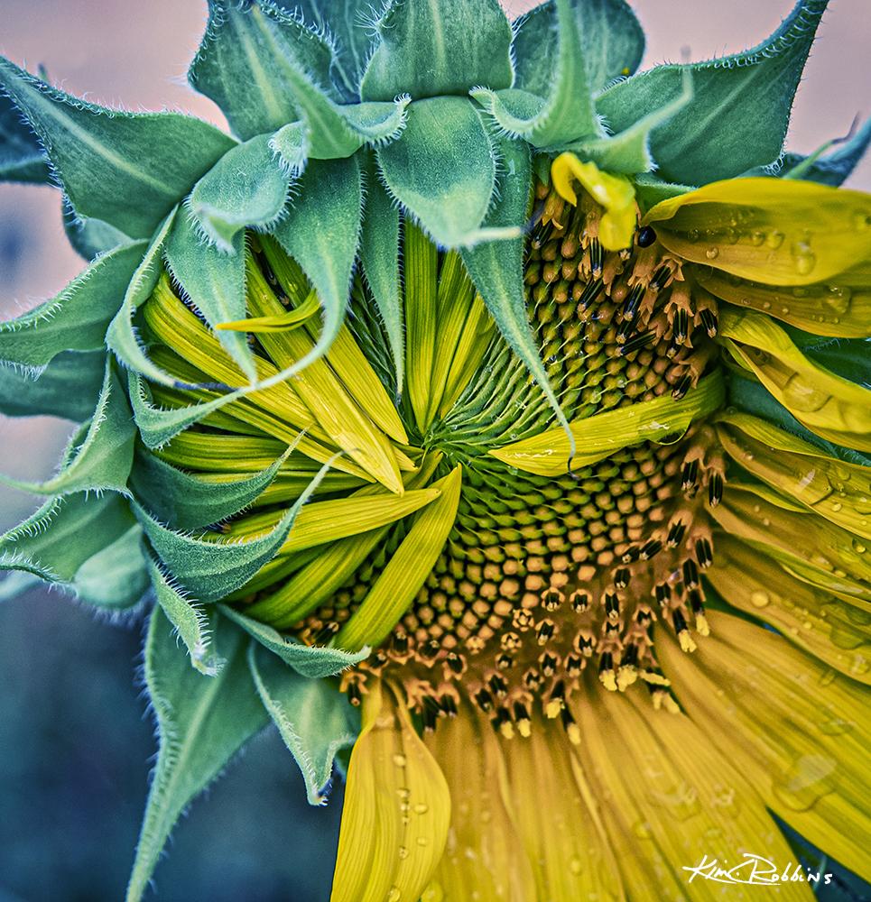 Fall Unfolding Sunflower
