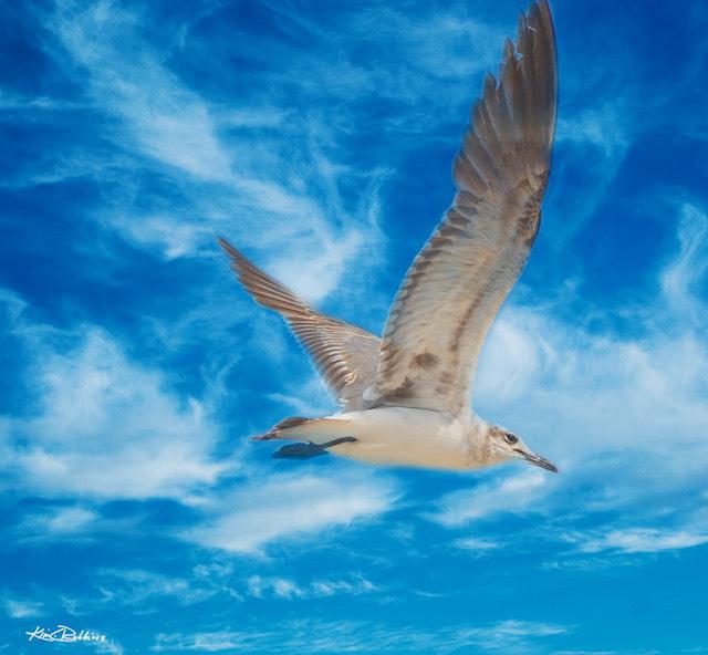 Seagull Over Islamorada