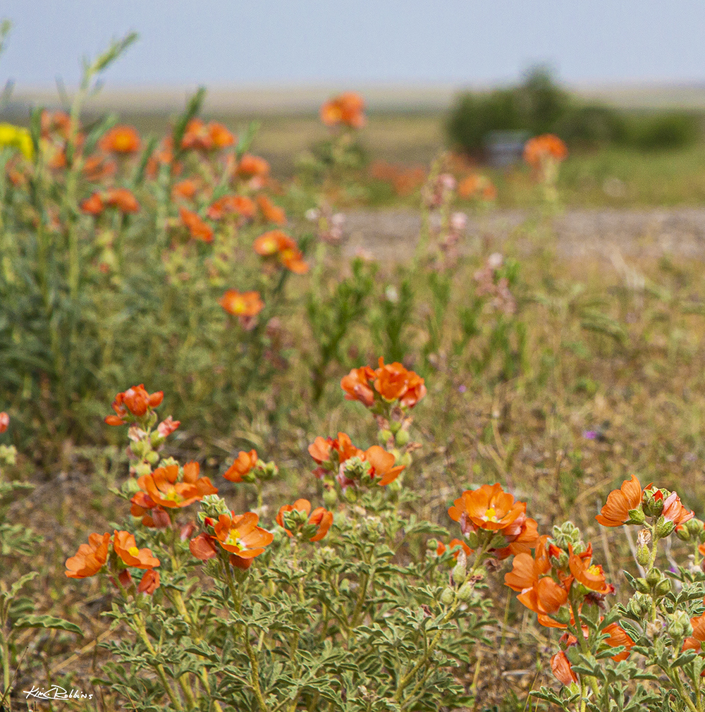 Wild Flowers on the Ranch at Headquarters