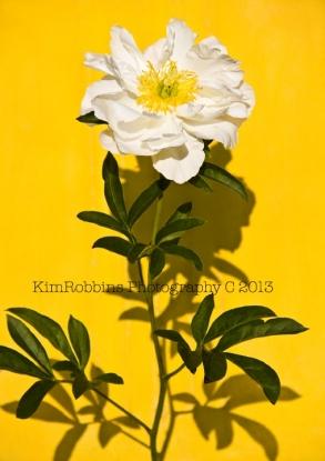 White Peony on Yellow